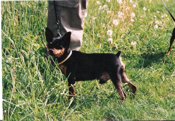 Pes pekného formátu - Puwi z Vyšehradského podhradí