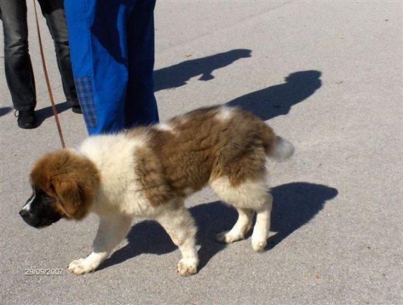 Moskovský strážny pes v malom